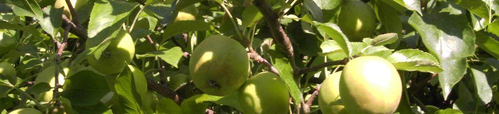 Apfelernte.jpg